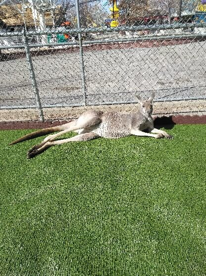 kangaroo laying on artificial grass