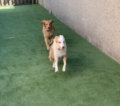 Dogs playing on artificial turf