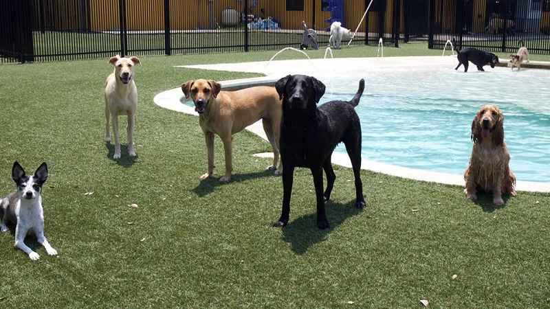 pet turf around dog pool at dog daycare