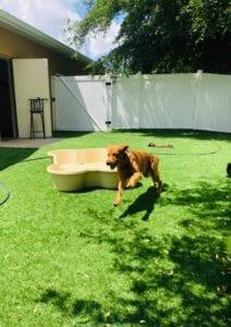 dog daycare with large dog prancing on pet turf